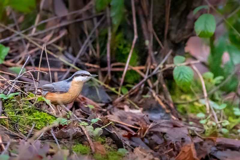 NUTHATCH - Scientific name: Sitta europaea