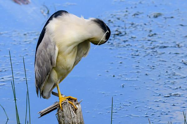 7-4-18 *^Black-Crowned Night-Heron - Adult Fishing