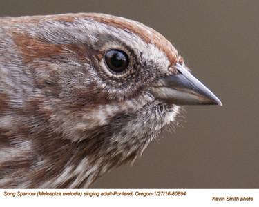 Song Sparrow A80894.jpg