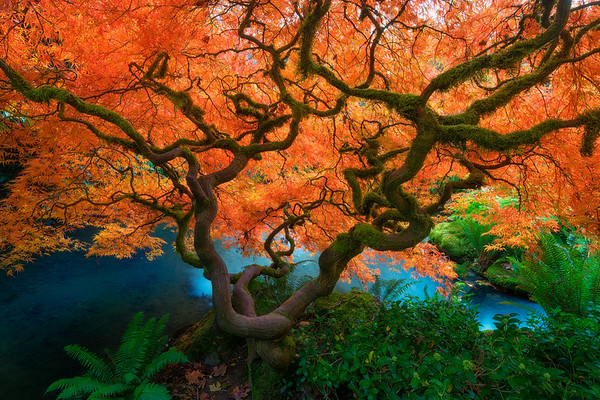 Japanese Maples and Gardens