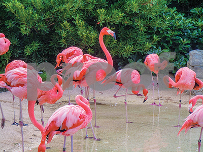 flamingo-flocks-threatened-by-lithium-water-mining-to-produce-electric-car-batteries
