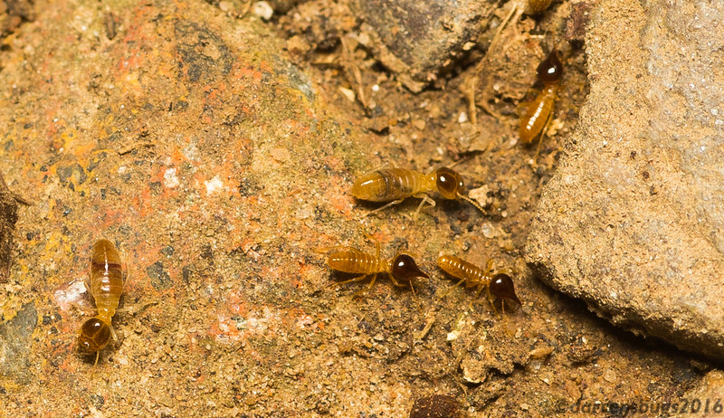 Worker and soldier termites from Belize. Until recently, termites were given their own order, Isoptera; however, DNA analysis has shown that they are actually a subgroup of order Blattodea. This means that, evolutionarily speaking, termites are an offshoot of highly social cockroaches.