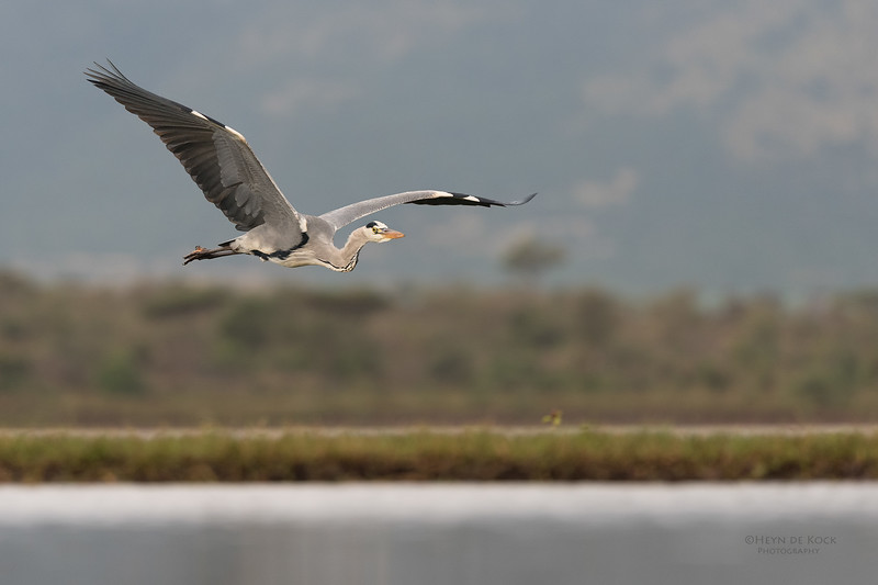 Grey Heron, Zimanga, South Africa, May 2017-8.jpg