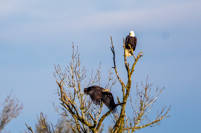 Bald Eagle Tree Dispute -0197.jpg