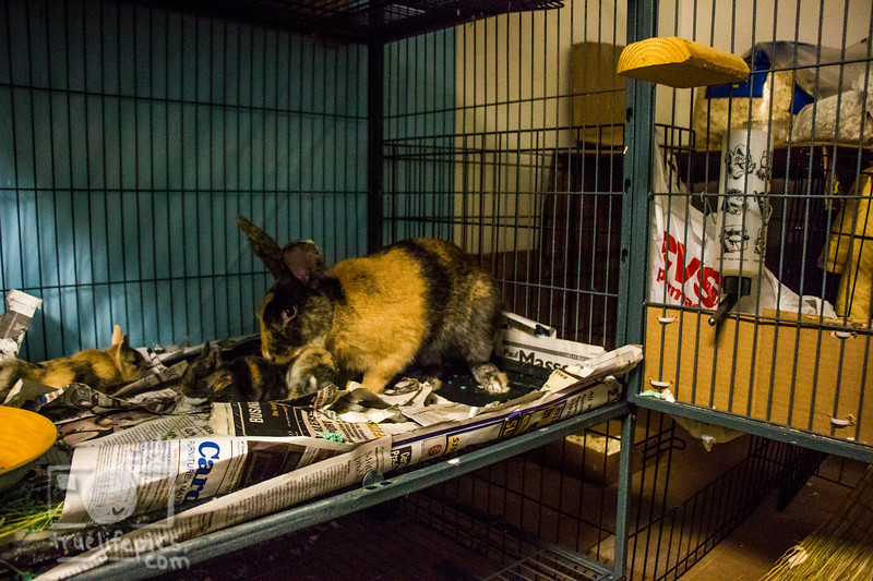 August 16, 2016 12 day old kits visit Daddy Bunny (4).jpg