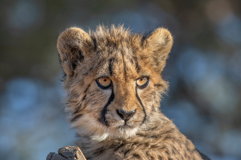 Namibia E4A3775 Captive.jpg