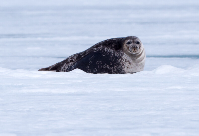 Ringed Seal on the Ice Floe