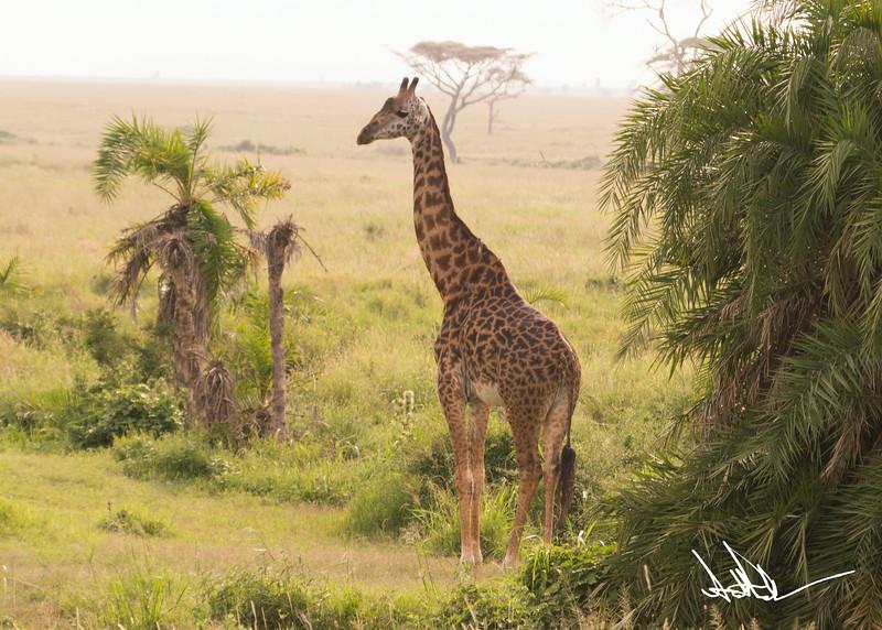 Giraffes-11.jpg