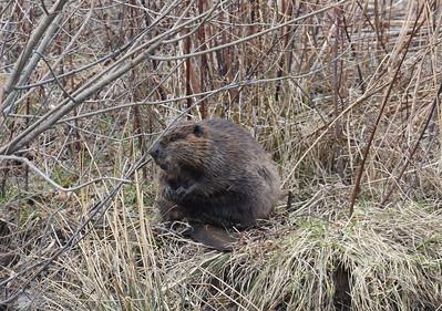 Wild Horses, Beavers, Muskrats, Turkeys, Raccoons, Weasel, Nutria Rats, Woodchucks, Rabbits, Chipmunks, Porcupines, Skunks, and Squirrels