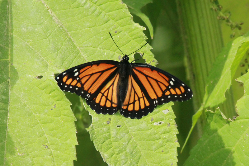 Viceroy Butterfly (Limenitis Archippus) @ Confluence Point SP
