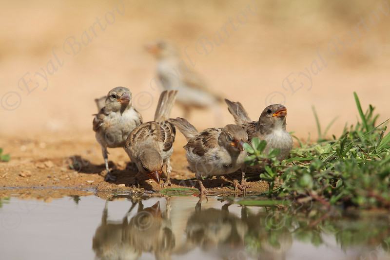 IMG_0171 House Sparrow.JPG