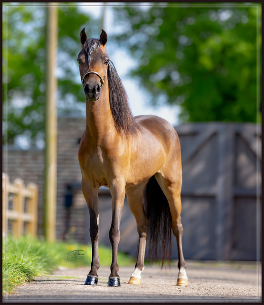 Miniature Horses of Frankonia & K&K Miniature Horses