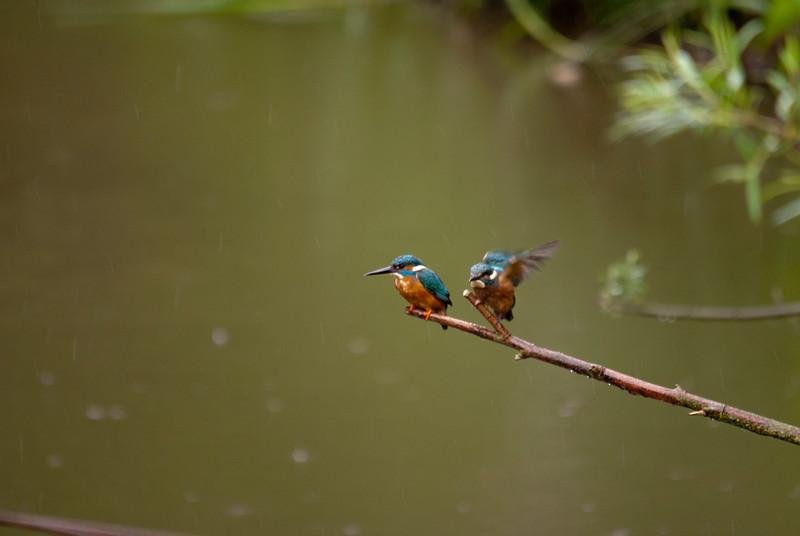 A Family Of Kingfishers