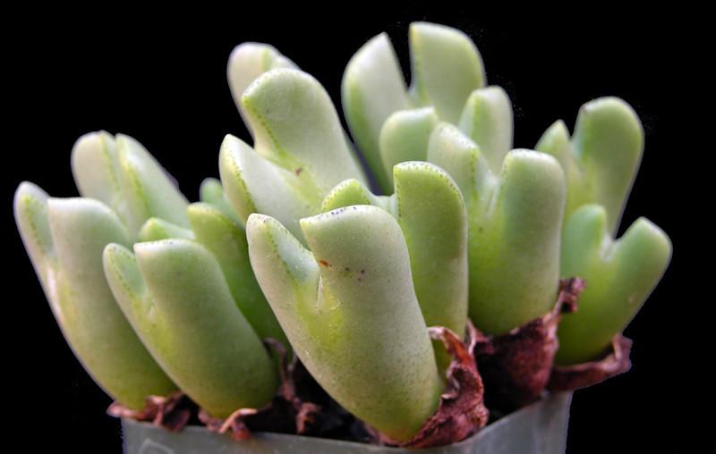 Conophytum x bilobum 2011-11-11.jpg