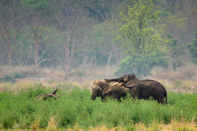 Elephants-Corbett-Male-trying-to-seduce-female.jpg