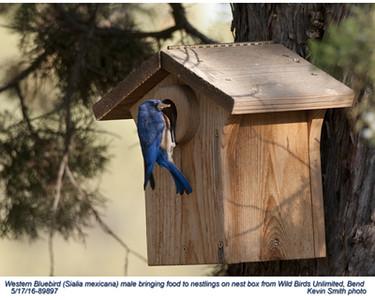 Western Bluebird M89897.jpg
