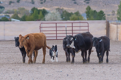 Cattle 4