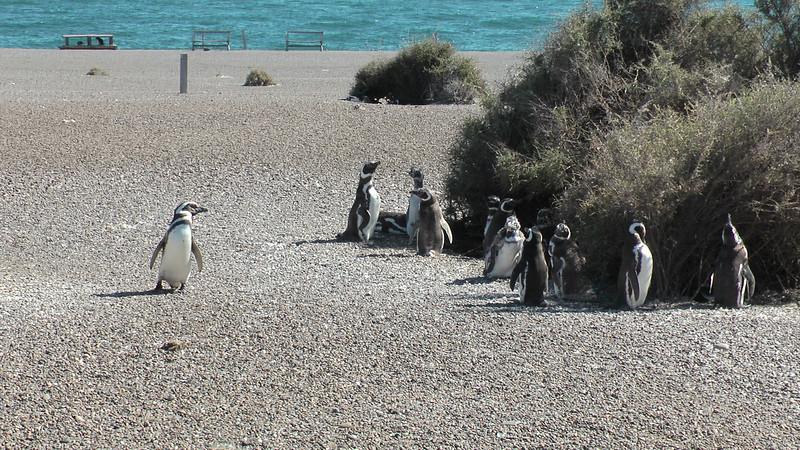 Magellan Penguins, Peninsula Valdes, Argentina