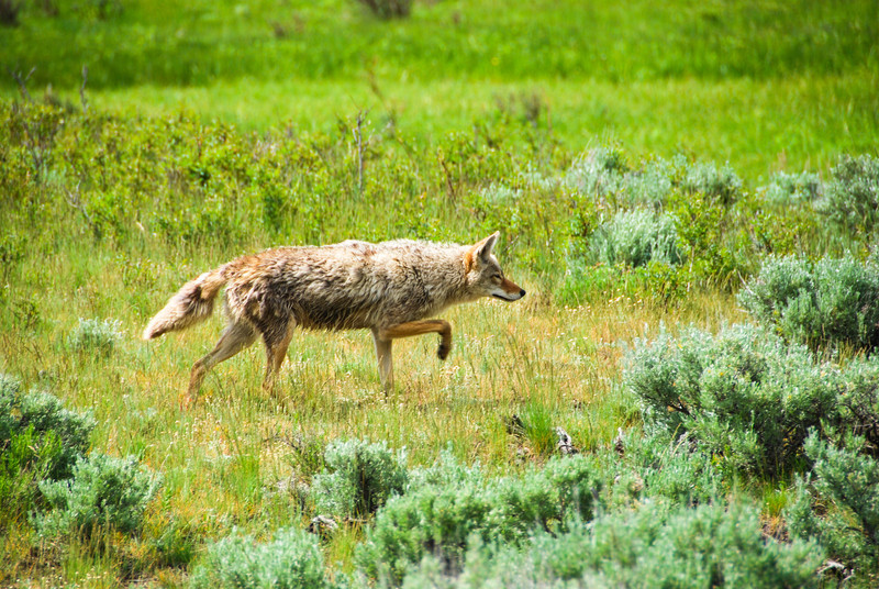 Coyote in the Lamar Valley, Yellowstone NP