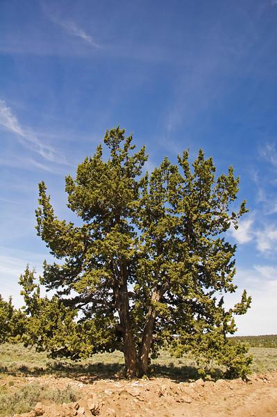 A nice tree --- juniper?.