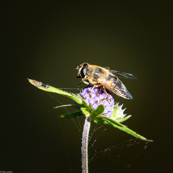 Fly on Scabious