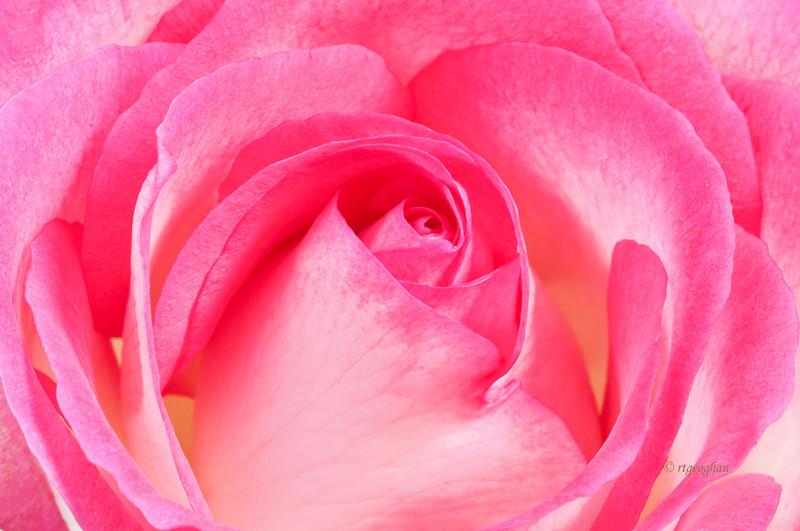 Mar 6_Pink Rose Closeup_3985.jpg