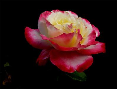 Roses G7