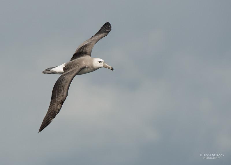 Shy Albatross, imm, Wollongong Pelagic, NSW, Aus, Aug 2014-1.jpg