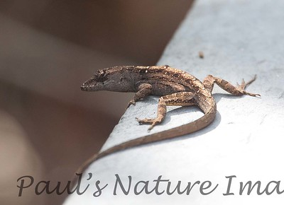 Brown-anole Lizard