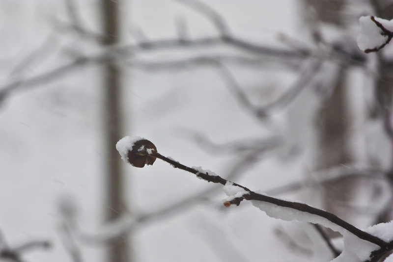 Frosty Tree Bud