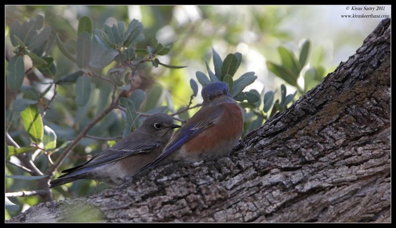 Male and female Eastern Bluebirds along the Proctor Road Trail, Madera Canyon, Arizona, November 2011