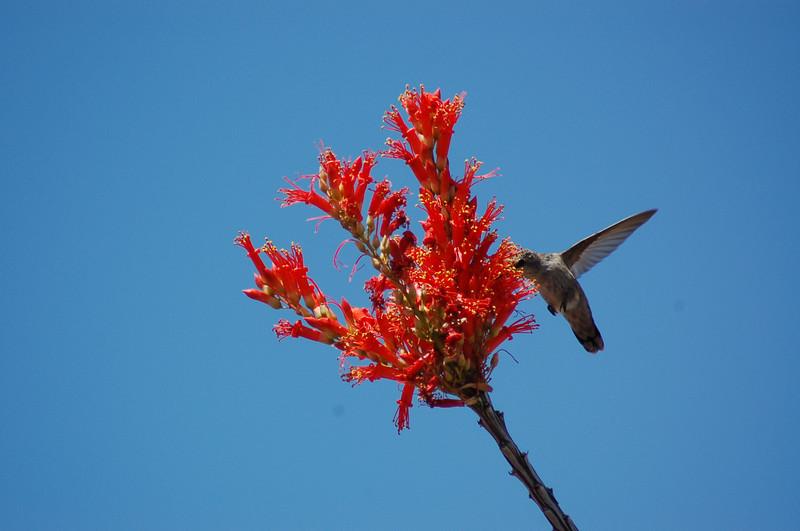 20130425_Hummingbird_005.JPG
