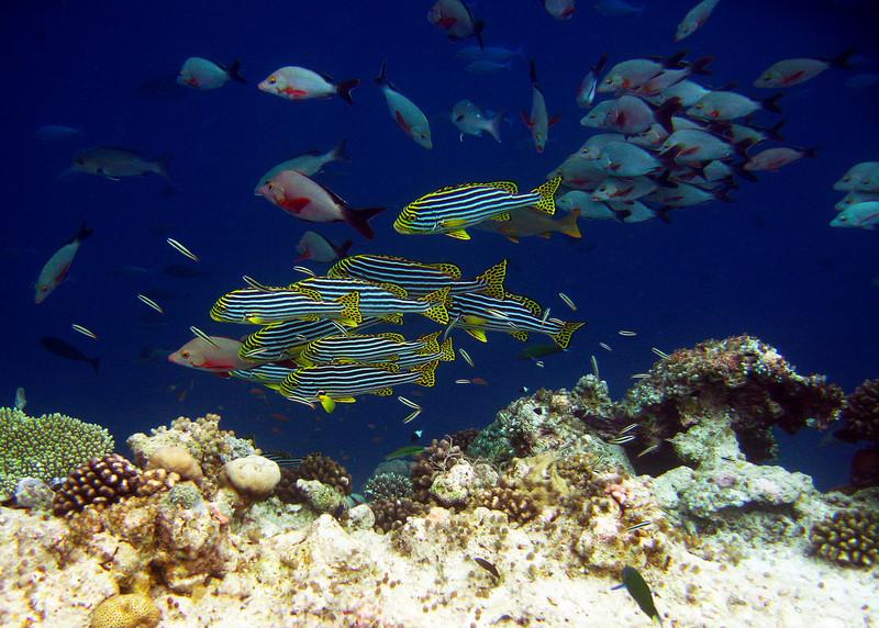 ORIENTAL SWEETLIPS - MALDIVES