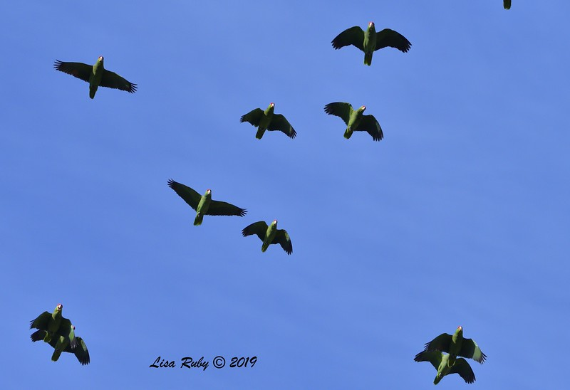 Red-crowned Parrots  - 12/01/2019 - Lindo Lake
