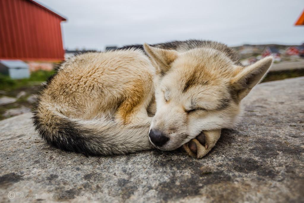 Greenlandic husky sleeping