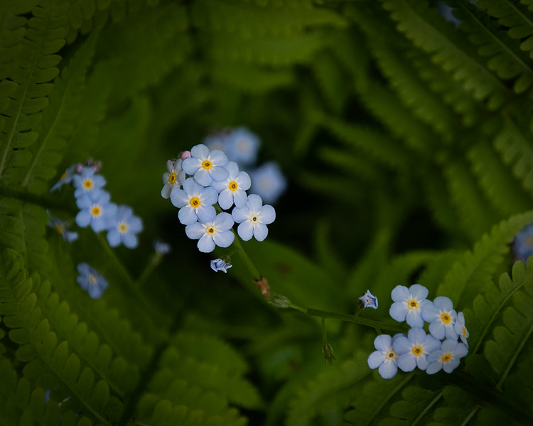 Hiding Forget-me-not