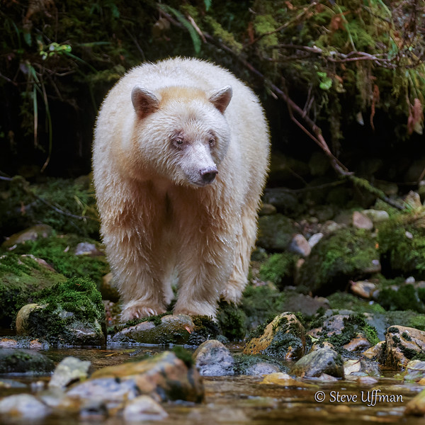 20150930-_Q2C5264Spirit-Bears-British-Columbia-Ediqsquare - Copy.jpg