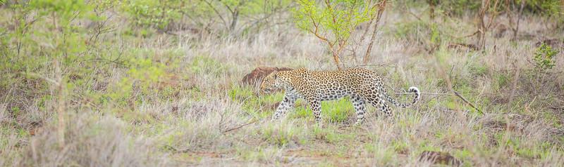 panthera.leopard.bencarmichael-10-2.jpg
