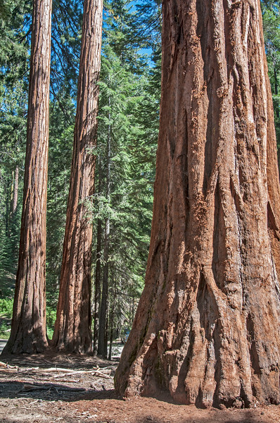 Giant Sequoia, California