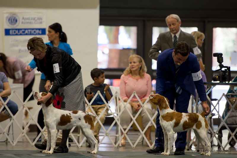 12ORY'S RODEO PRINCESS ROCKS CYNISTER , SR95059903 9/8/2016. Breeder: Joy and Tim and Michelle Ory. By GCH DC Ory's Marshall Dillion SH -- GCH Copley's All Fun N Games. Ryan and Cathie Magoon . Bitch. BRITTANYS Puppy 9 months and under 12 months Bitches. 1      14SIMON'S STARTIN' A LEGACY , SR94804801 7/21/2016. Breeder: Nancy Hensley and Sue Richards. and Joy Ory By GCH Ory's Marshal Dillon SH -- CH Crosscreek Millicent Of The Mountain. Nancy Hensley . Bitch