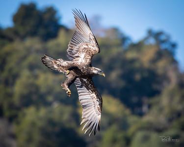 Adolescent Bald eagle fishing