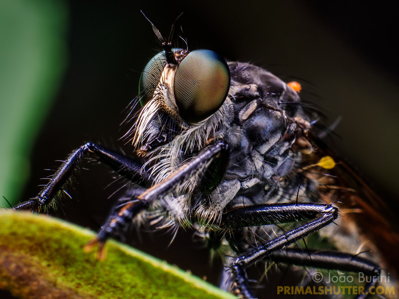Details of a grey robberfly
