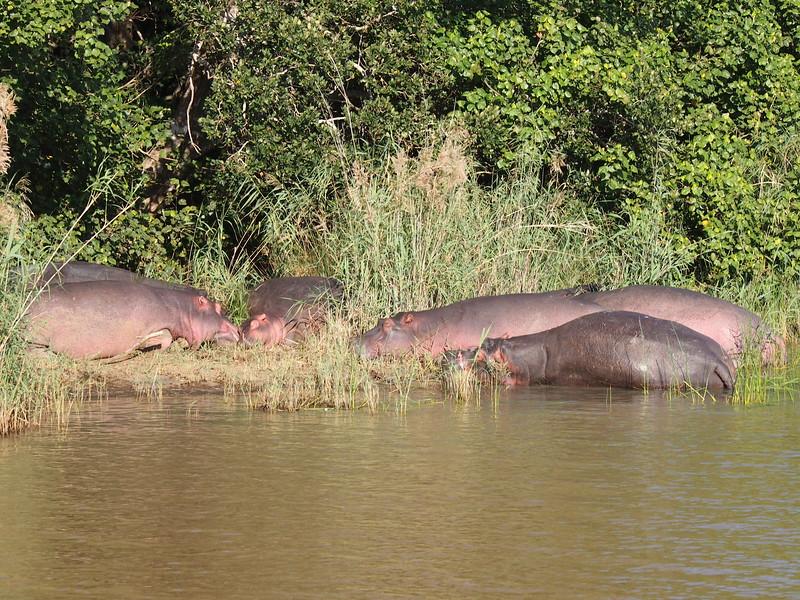 P5036001-resting-hippos.JPG