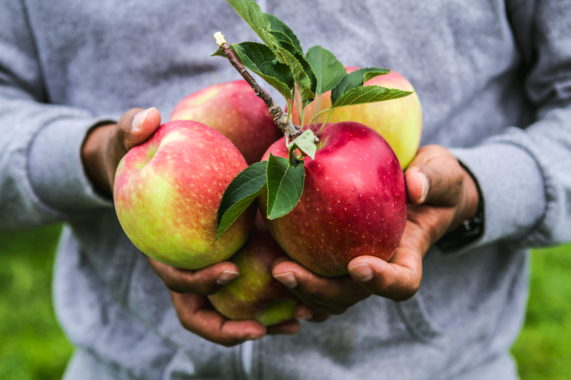 """""""Apple Picking"""",  Client - MASKER ORCHARDS,  Warwick, NY"""