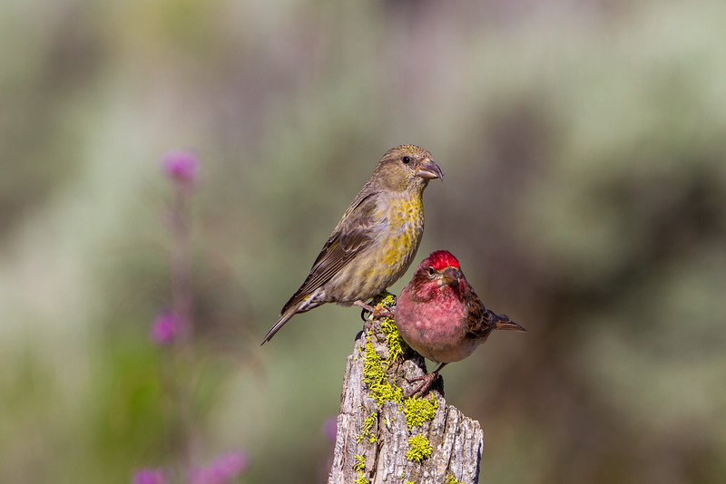 Red Crossbill (Loxia curvirostral) & Cassin's Finch (Carpodacus cassinii)
