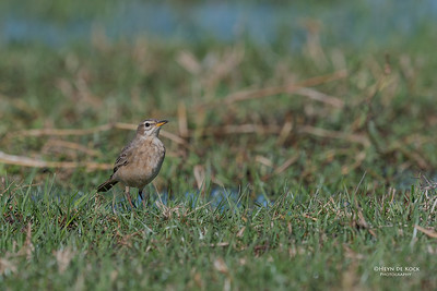 Plain-backed Pipit (Anthus leucophrys)