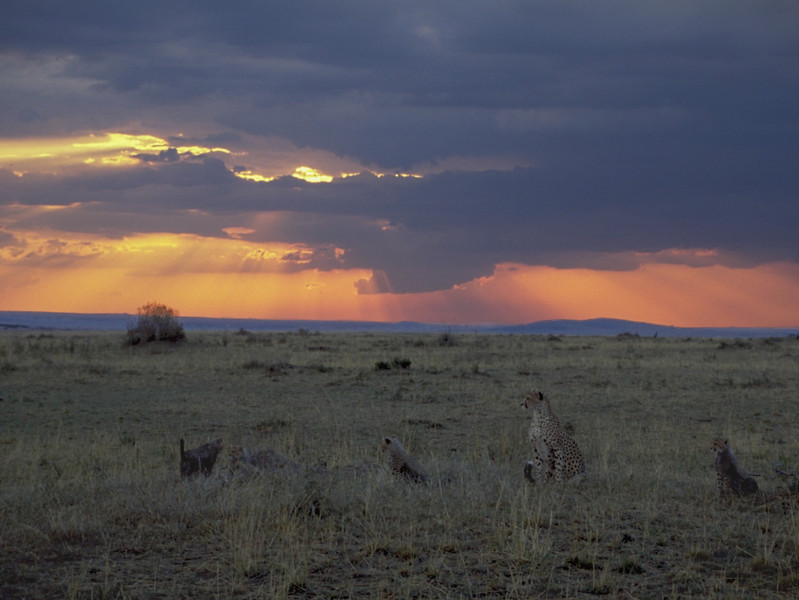 00986 Cheetah Sunset xx.jpg