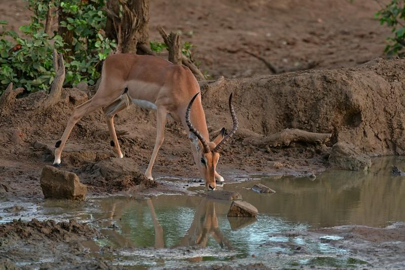 Male Impala Drinking Water