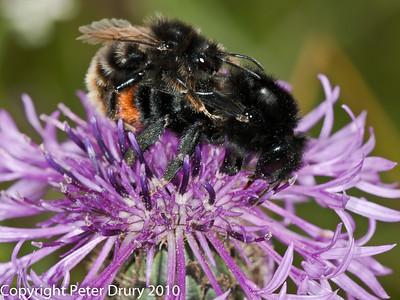 Cuckoo Bee (Bombus rupestris)