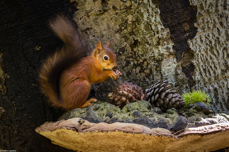 Red Squirrel and Fungus
